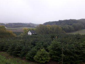 Jodły kaukaskie na plantacji | szkółka tuChoinki